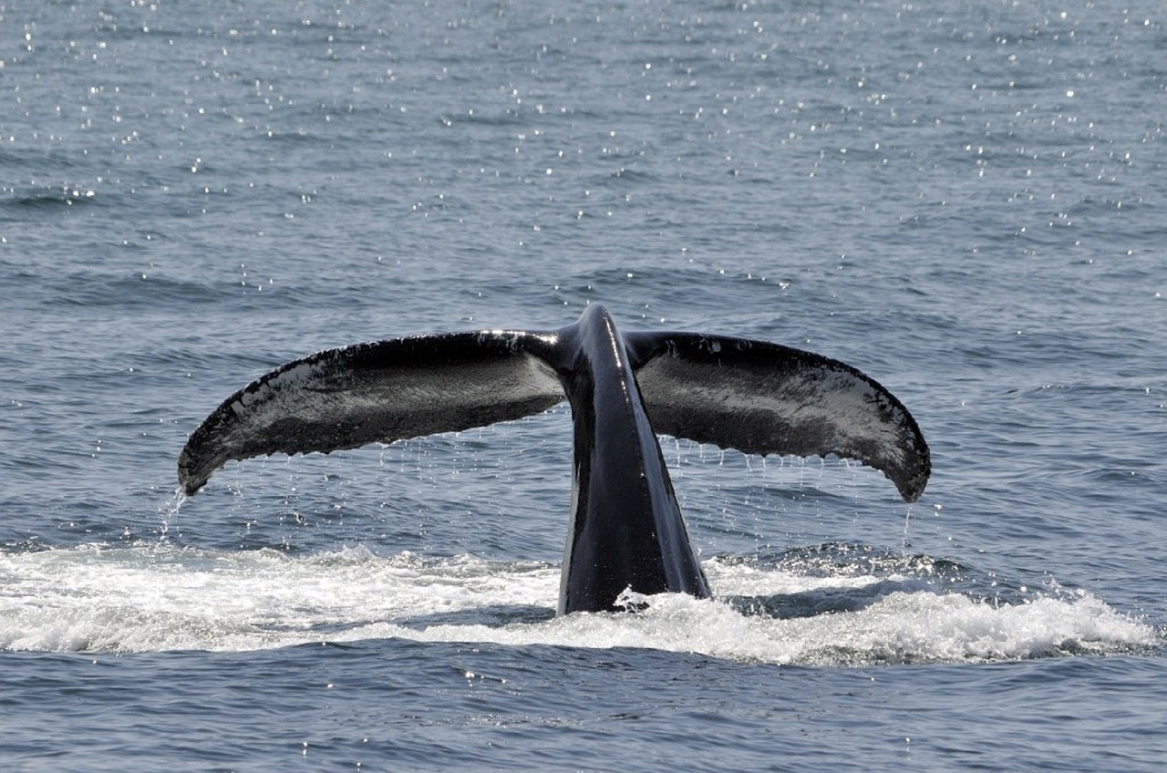 cetaceans in the canaries