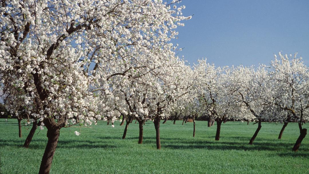 Un paseo entre los almendros en flor de Mallorca