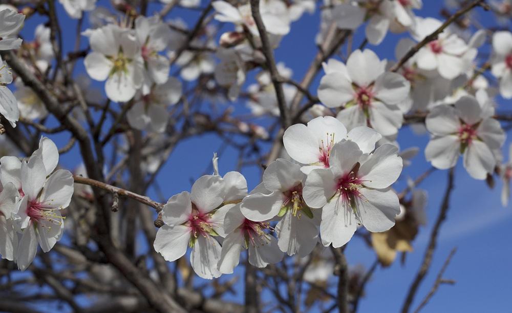 La magia de los almendros en flor de Mallorca