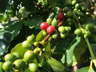 Kaffee aus Agaete